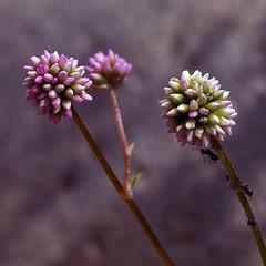 Família de flors amb formigues