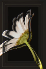 It's not all black & white (Robin Penrose) Tags: hss 201906 flower daisy layers ps lr