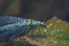 Blue (JWB Creative Life) Tags: insect fly lace wing lacewing blue nature macro