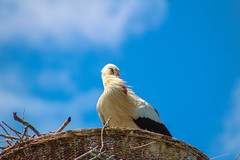 stork (Enzo_MG) Tags: stork cicogna blu bird uccello nature natura nido nest