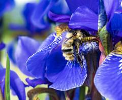 Iris / Ирис (dmilokt) Tags: природа nature цветок flower растение plant dmilokt макро macro ins