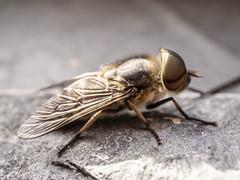 P1042001 (johanneswissen) Tags: horsefly bremse macro