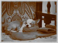 5838 - Wollen pillow (Diego Rosato) Tags: woll pillow lana cuscino poltrona chari chihuahua cane dog pet animal puppy animale fuji x30 rawtherapee gimp