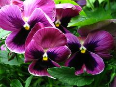 (Vallø) Tags: vallø danmark denmark 2019 outside outdoor nature natur green grøn garden have macro closeup flower blomst århusv flowers blomster lilla purple