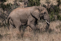 Elephant 01 (http://www.guidogavazzi.it/englishome.html) Tags: south africa pilanesberg safari nature animal wild outdoor wilderness bush wildlife background landscape savannah savanna eléphant de savane dafrique african elephant elefante