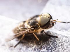 P1042010 (johanneswissen) Tags: horsefly bremse macro