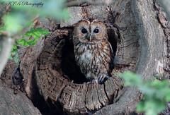 Tawny Owl (Wild) (KJB Photography.) Tags: tawny owl perched tree stump forest woodland