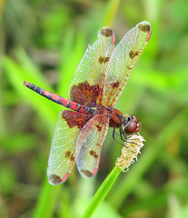 Mr. Red - yesterday (Vicki's Nature) Tags: calicopennant small male red dragonfly reed watersedge lathemreservoir georgia vickisnature spots hearts canon s5 5559