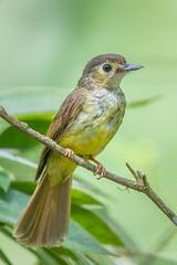 Hairy-backed Bulbul (BP Chua) Tags: bird bulbul nature wild wildlife animal panti malaysia nikon d850 600mm