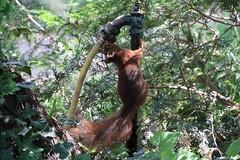 So thirsty on a hot summer day (michael.heucke) Tags: nature animal squirrel natur tier eichhörnchen floraköln botanischergartenköln fauna