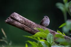 House Wren (mbinebrink) Tags: wren bird fujifilm fuji xt2 wildlife leaves branch maryland 100400mm birdphotography
