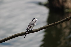 White wagtail (Enzo_MG) Tags: white wagtail ballerina bianca uccello bird nature natura
