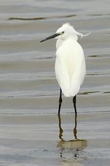 Little Egret-7D2_4689-001 (cherrytree54) Tags: little egret rye harbour east sussex canon sigma 7d 150600