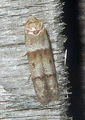 Scavenger Moth, Tribe Blastobasini, possibly Blastobasis pulchella, Southold (Seth Ausubel) Tags: moth blastobasinae blastobasidae blastobasini