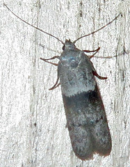 Scavenger Moth, Subfamily Blastobasinae, Southold, 2 of 2 (Seth Ausubel) Tags: moth blastobasinae blastobasidae