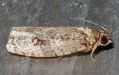 Unidentified Olethreutine Moth, Tribe Olethreutini, Southold (Seth Ausubel) Tags: tortricidae moth olethreutinae olethreutini