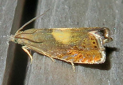 Olethreutine Moth, Dichrorampha bittana, Southold (Seth Ausubel) Tags: tortricidae olethreutinae moth grapholitini