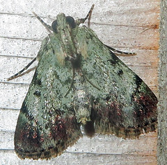 Dimorphic Macalla, Epipaschia superatalis, Southold (Seth Ausubel) Tags: pyralidae moth epipaschiinae