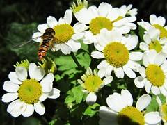 IMG_1988 (belight7) Tags: white yellow flowers bug wild nature england uk