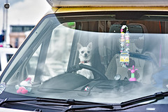 Tales from the Barking Lot (alundisleyimages@gmail.com) Tags: dog chihahua pet driving small toy campervan reflections vehicle smurf fun humour animal creature domesticated newbrighton seats steeringwheel glass window wipers caughtinthemoment