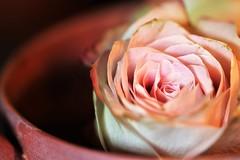 A Cup of Roses - enjoy :)  HMM (ulla.smidt-berner) Tags: sundaylights macromondays curves teacup rose pottery