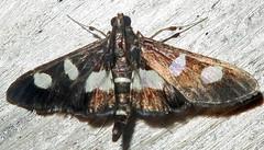 Grape Leafroller, Desmia maculalis, Southold (Seth Ausubel) Tags: crambidae moth spilomelinae
