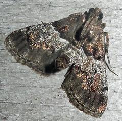 Zeller's Macalla, Macalla zelleri, Southold (Seth Ausubel) Tags: pyralidae moth epipaschiinae