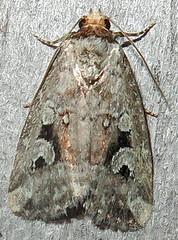 Pale-winged Midget, Elaphria alapallida, Southold (Seth Ausubel) Tags: noctuidae noctuinae moth elaphriini