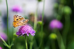Butterfly (Vanessa cardui ) 2 (sebalehm) Tags: blume deutschland natur ort pflanze schleswig schmetterlinge tier wirbellose