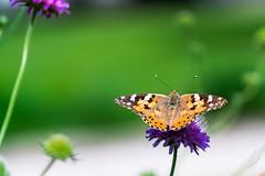 Butterfly (Vanessa cardui ) 1 (sebalehm) Tags: deutschland natur ort schleswig schmetterlinge tier wirbellose