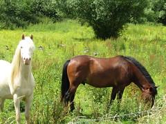 IMG_1953 (belight7) Tags: horses paddock white brown grazing uk england nature