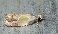 Sculptured Moth, Eumarozia malachitana, Southold (Seth Ausubel) Tags: tortricidae olethreutinae moth olethreutini