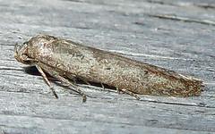 Scavenger Moth, Subfamily Blastobasinae, Southold, 1 of 2 (Seth Ausubel) Tags: moth blastobasinae blastobasidae