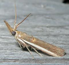 Gold-banded Etiella Moth, Etiella zinckenella, Southold (Seth Ausubel) Tags: pyralidae moth phycitinae
