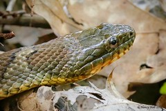 Northern Water Snake (Nerodia sipedon) (nehall) Tags: snakes northernwatersnake reptiles macro