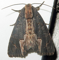 American Bird's-Wing, Dypterygia rozmani, Southold (Seth Ausubel) Tags: dypterygiini moth noctuidea noctuinae