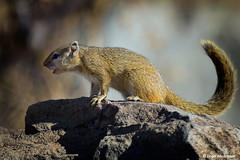 Tree Squirrel (leendert3) Tags: leonmolenaar southafrica krugernationalpark wildlife naturereserve nature naturalhabitat wildanimal mammal treesquirrel ngc coth5