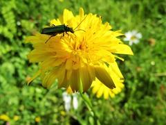 IMG_2011 (belight7) Tags: yellow flower dandelion wild bug nature england uk
