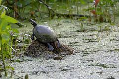 BombayHookNWR_06_15_2019_DSC-2052C (Jeff Adukinas Photography) Tags: bombayhooknwr delaware wildlife turtle