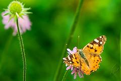 Butterfly (Vanessa cardui ) 4 (sebalehm) Tags: blume deutschland natur ort pflanze schleswig schmetterlinge tier wirbellose