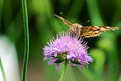 Butterfly (Vanessa cardui ) 3 (sebalehm) Tags: deutschland natur ort schleswig schmetterlinge tier wirbellose