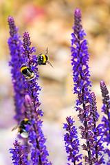 Bumblebees on lavender (sebalehm) Tags: blume deutschland hummel natur ort pflanze schleswig tier wirbellose