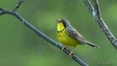 Let there be music! (Earl Reinink) Tags: songbird music singing bird warbler animal canadawarbler canada nature forest branch outdoors earlreinink hthadardea