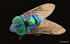 Hoverfly, Ornidia obesa, Syrphidae (Ecuador Megadiverso) Tags: andreaskay diptera ecuador fly focusstack hoverfly orchidbeemimic ornidiaobesa syrphidae