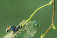 Bugs Are Dads Too (hesamusicman) Tags: japanese beetles iridescent iridescence fathers day pest pests beautiful