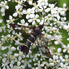 Photo of Synanthedon tipuliformis, 2019-06-16