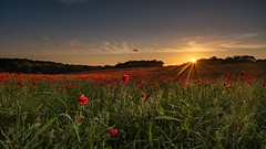 Sun rays over the poppies (gaztotalmods) Tags: red sunrays hertfordshire field sunset poppy poppies
