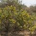 Crotalaria paniculata (5)