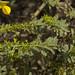 Crotalaria paniculata (3)
