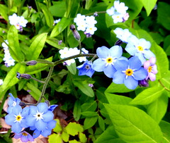Remembering (mudder_bbc) Tags: wildflowers forgetmenot blue maine